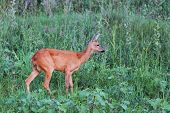 Female Roe Deer In The Green Field