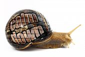 picture of snail-shell  - Snail with  - JPG