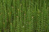 picture of horsetail  - Horsetail forest thickets on the river bank - JPG
