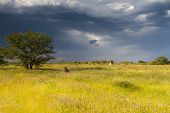 foto of termite  - Termite mounds on namibian farmland with thunderstorm approaching