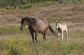 stock photo of colt  - A horse and its colt in the field near Dixon Montana - JPG