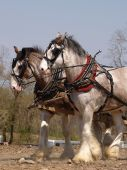 image of clydesdale  - Team of Clydesdale horses working the ground - JPG
