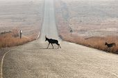 stock photo of tar  - A few silhouetted blesbok native to southern africa crossing a tarred road in an isolated warm dry grassland and mountainous setting - JPG