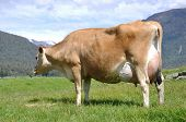 foto of lactating  - High production pedigree Jersey cow showing off udder attachment West Coast New Zealand - JPG