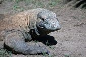 stock photo of komodo dragon  - komodo dragon Varanus komodoensis from Indonesia - JPG