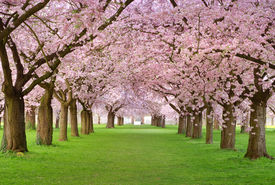 pic of cherry blossoms  - Rows of beautifully blossoming cherry trees on a green lawn - JPG