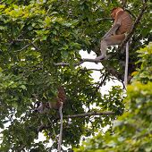 foto of rainforest animal  - Proboscis Monkey in the rainforest of Bako National Park West Sarawak Borneo Malaysia - JPG