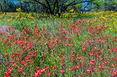 picture of wildflowers  - A Beautiful Field Blanketed with the Famous Bright Blue Texas Bluebonnet  - JPG