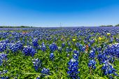 stock photo of wildflowers  - A Closeup View of a Beautiful Field Blanketed with the Famous Texas Bluebonnet  - JPG
