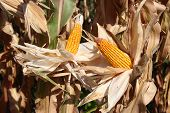 picture of maize  - agriculture background of dry maize ear in bright sunlit corn field ready for harvesting - JPG