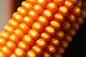 stock photo of maize  - close up of Maize kernel pattern on Dry Corn Ear