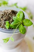 picture of origanum majorana  - fresh and dried marjoram in a white cup on white background - JPG
