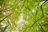 stock photo of glow-worm  - beech forest treetop for background shoot in autumn - JPG
