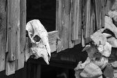 foto of cow skeleton  - Dried and bleached out cow skull in a Utah ghost town - JPG