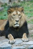 foto of leo  - Barbary lion  - JPG