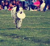 stock photo of cattle dog  -  a cute dog in the grass at a park during summer playing with a flying disc toy - JPG