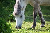 Постер, плакат: Cute Shetland Pony At The Pasture