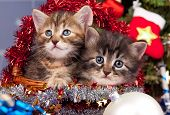 pic of blue spruce  - Cute siberian kittens near Christmas spruce with gifts over blue background - JPG