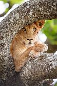 picture of african lion  - African lion in a tree a hot day in Serengeti - JPG