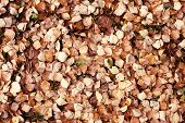 picture of alder-tree  - alder leaf litter on the ground - JPG