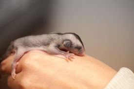 pic of possum  - Sugar glider cub - JPG