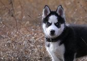 stock photo of siberian husky  - the puppy of a dog a Siberian Huskies costs in a grass looks in a shot - JPG