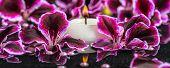 foto of geranium  - beautiful spa background of blooming dark purple geranium flower beads and candle in reflection water panorama - JPG