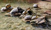 image of tortoise  - Water tortoises outdoors - JPG