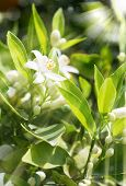 image of orange blossom  - Orange blossom and buds in spring orchard with rays of sun - JPG