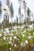 stock photo of laplander  - Blooming white flowers of Cottongrass in Lapland pine forest - JPG