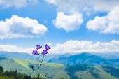 picture of naturel  - Purple Harebell flower against a backdrop of the Pyrenees - JPG