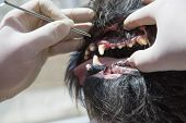 foto of gingivitis  - The vet is using the tool for the treatment of gingivitis in the open mouth of the dog under anesthesia - JPG