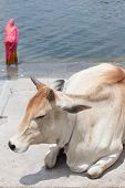 stock photo of gang  - Holy cow on Ganges river - JPG