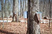 stock photo of maple tree  - Pails in trees to collect sap of maple trees to produce maple syrup - JPG
