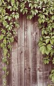 foto of ivy vine  - Wooden fence covered in natural ivy vines frame - JPG