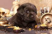 picture of chocolate lab  - chocolate labrador - JPG