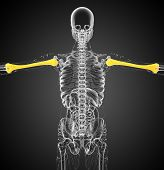 picture of humerus  - 3d render medical 3d illustration of the humerus bone  - JPG