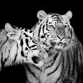 image of sundarbans  - Closeup two Tiger animal wildlife on black color background - JPG