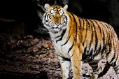 image of sundarbans  - Closeup Tiger animal wildlife on outdoor background - JPG