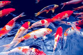 foto of koi fish  - Red gold and white koi fish in a pond - JPG