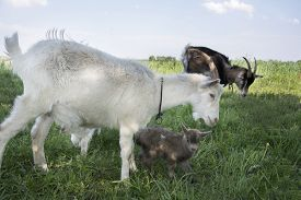 foto of baby goat  - Two goats with young goats graze in the meadow - JPG