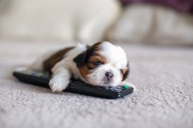 image of little puppy  - Face of little shih - JPG