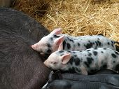 stock photo of farrow  - Cute speckled piglets suckling in the hay - JPG
