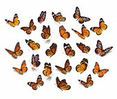 Big Set Monarch Butterfly poster