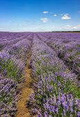 Lavender Flower Blooming Scented Fields In Endless Rows. Vertical View. poster
