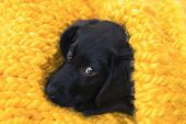 Cute Little Pet Labrador Retriever Puppy Is Going To Sleep. Baby Labrador Retriever Dog Wrapped In A poster