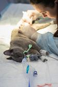 Preparation For Sterilization Of Cat In A Veterinary Clinic,  Cat On An Operating Table, Veterinaria poster
