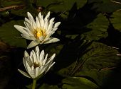 Two White Lotus Blossoms Rising Up Out Of Pond Of Lily Pads, Calm Serene Background, Meditation Well poster