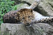 A Leopard Lays Comfortably On The Rocks While Gazing Forward. poster