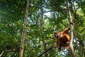 Orangutan In Jungle Portrait. Semi-wild Female Orangutan In Jungle Rain Forest  Of Bukit Lawang, Nor poster